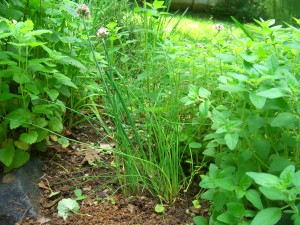 After some weeding, the chives emerged
