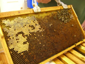 Capped honey on the left and a cluster of dead bees on the right