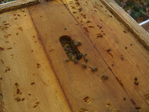 Small hive beetles can ruin a colony.  We'll have to get on this.  Stay tuned.
