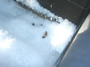 A couple of dead  bees at the entrance to Hive C.