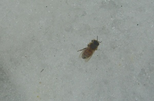 Little bee, don't freeze on the snow!