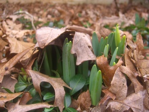 "Tentative daffodils ask, ""Is Winter gone yet?"""