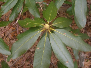 Rhododendron braved the winter and came out ready to bloom.