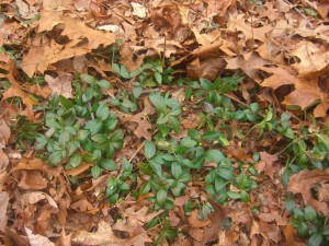 I know I can always rake the periwinkle for a green pick-me-up.