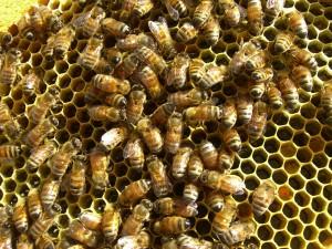 Honey frame or brood frame?