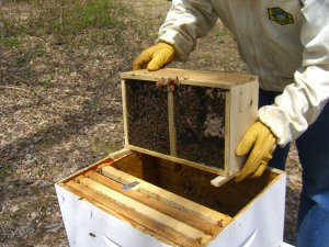The rest of the bees are unceremoniously dumped in.