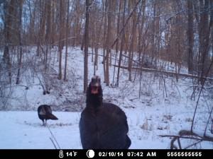 Turkey selfie.  But the photo is  courtesy of Tim McQuaid & his field cameral.