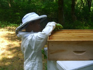 Junior beekeeper examines the honey box