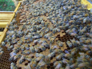 Lots of brood in Hive A.
