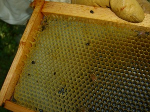Small hive beetles can ruin a hive and its harvest by breeding in the bee's brood cells.