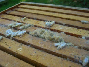 The hive is dead and full of wax moths.  They can do serious damage to the hive structure.