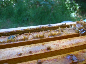 Propolis is the sticky stuff bees make to seal the hive.  It's a real pain to get off countertops.