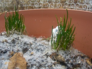 Snowy Chives in March